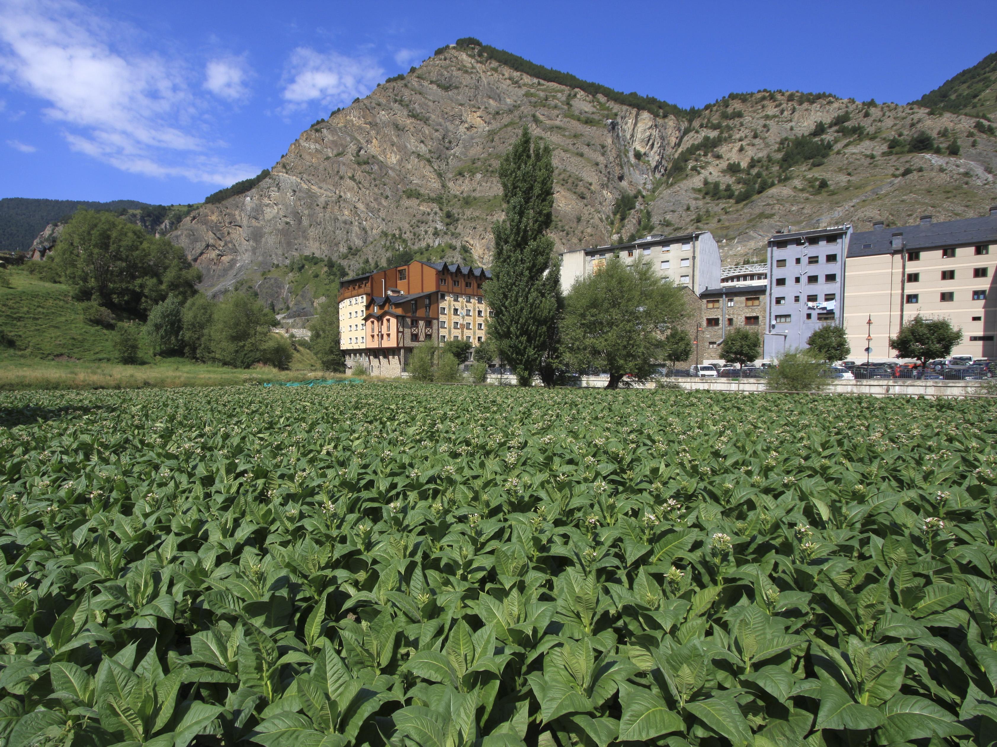 Andorra Tobacco plantation